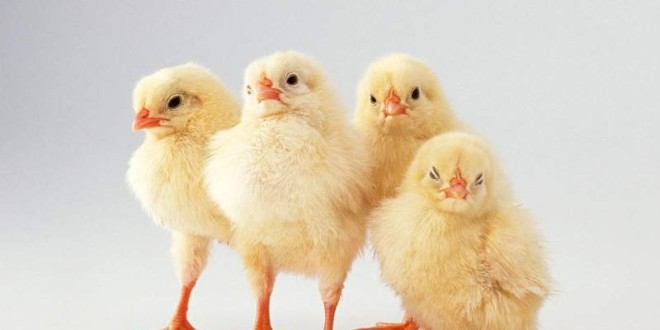 пиленца