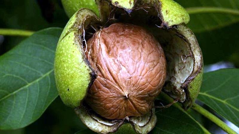 орехово дърво