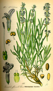 240px-Illustration_Lavandula_angustifolia0