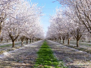 Almond-Trees-in-Bloom