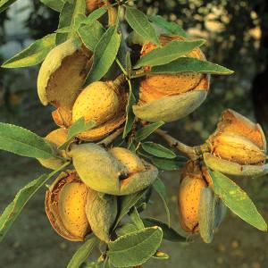 Almond2b