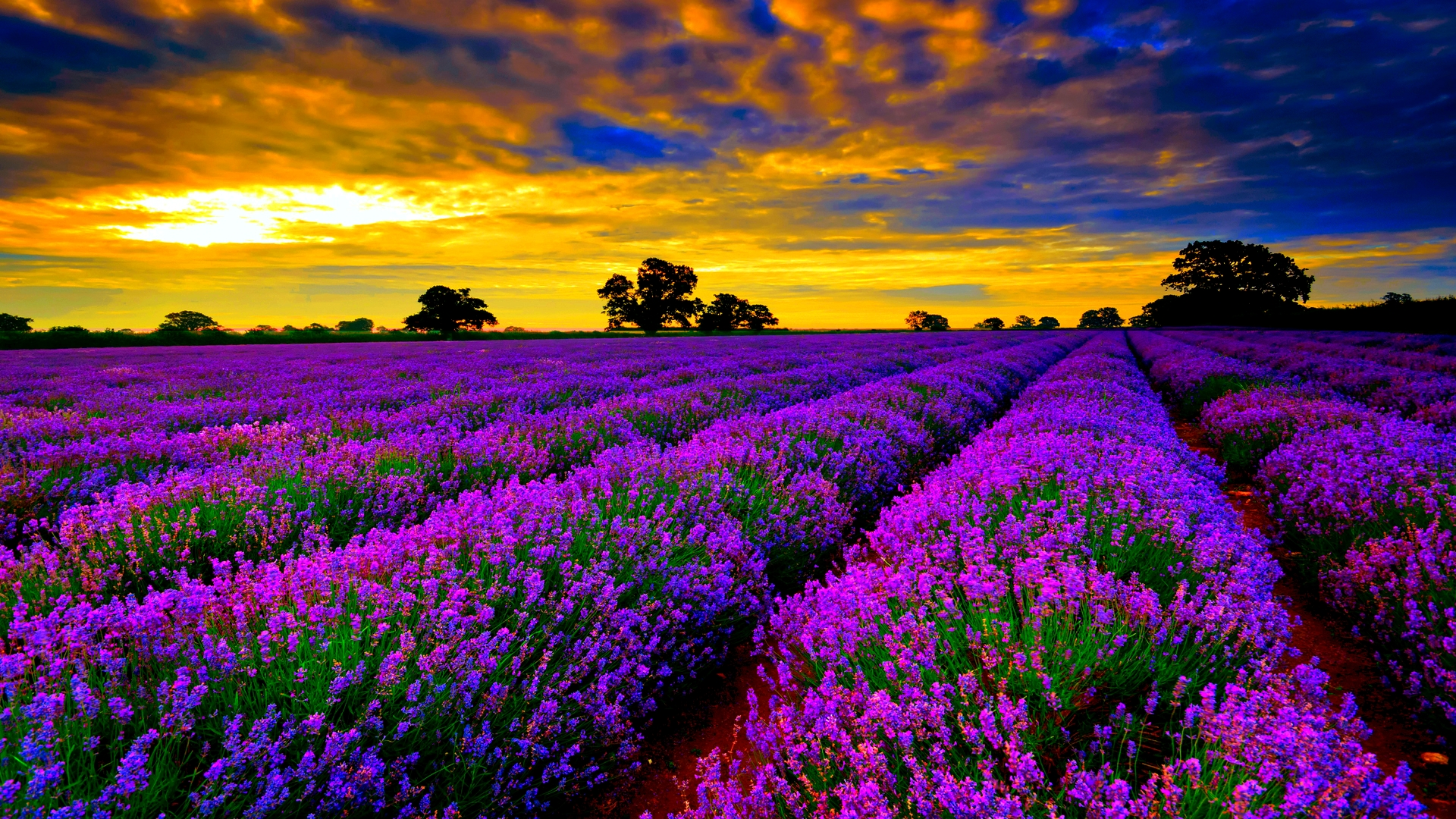 Beautiful-Lavender-Fields-Of-France