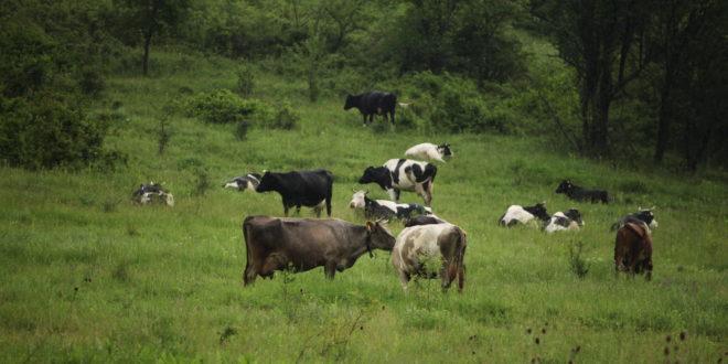 планински район, крави