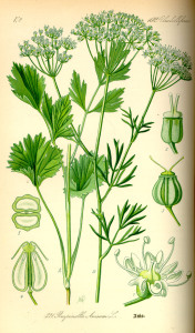 Illustration_Pimpinella_anisum0