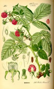 Illustration_Rubus_idaeus0