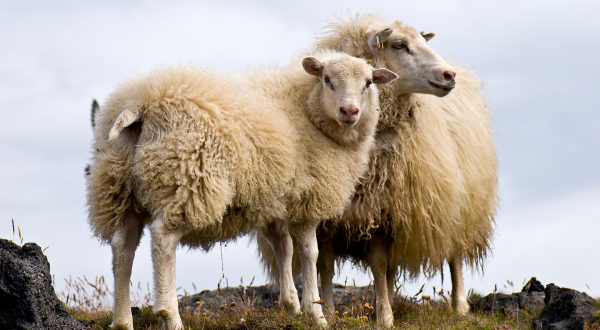 овце в парк