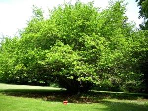 hazelhut12 tree