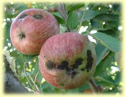 ябълки, растителна защита