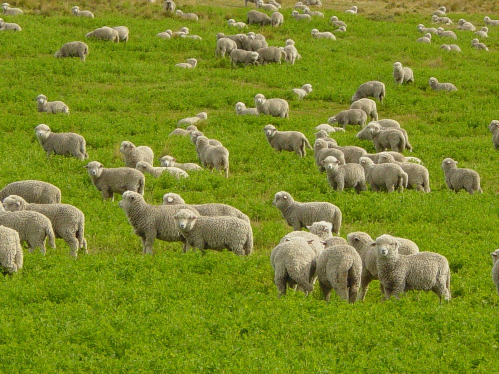 овчици