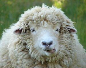 wooly-sheep-ramona-johnston